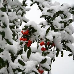 First Snow - IMG_1610 (Andreas Helke) Tags: schnee winter snow topv111 canon germany square deutschland blurry berry europa europe berries topv1111 pit explore fav dslr firstsnow popular canoneos350d potential squared creidlitz pyracantha quadrat 1106 fav10 v1000 firethorn candreashelke feuerdorn 69points interestingness236 worldsfavorite interestingness136 i500 interestingness144 100pointsgroup haslargesize 200611024nogroups 20061102263 20061103394 200611031133 groupsutataandfirstsnow 2006110310462226 2006110513813 2006110614715 pi19 2006121525817 pi17 200612173957 pi7 explorepotential donothide 0207top10 oldstileoriginalsecret 2007111776117 fav5andmore fav2andmore popularold mymoreinterestingphotos