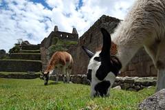 munch munch (ssjl) Tags: wild cute peru cuzco cusco machupicchu alpacas beautifulsky eatinggrass yummyyummy nikonstunninggallery peruvianimages