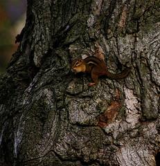 Sunday Morning Chipmunk  (mightyquinninwky) Tags: november autumn tree fall dof bokeh kentucky sunday autumncolours chipmunk bark lexingtonky knots fontaineroad centralkentucky