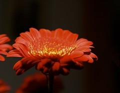 Gerbera #3 (*Christiane*) Tags: orange flower yellow germany bavaria petals dof bokeh natur pflanzen blumen gelb gerbera