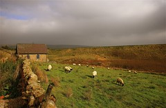 Sheep Grazing.. (Nala Rewop) Tags: uk england cloud house field topv111 landscape sheep yorkshire moors stonewall grazing yorkshiredales aplusphoto