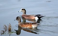 American Widgeon (MissionPhotography) Tags: california county orange fruits duck american americana anas blend widgeon americanwigeon acai anasamericana monavie baldpate