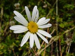 Simple daisy