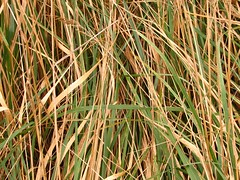 linegrass (atech) Tags: grass f iarb
