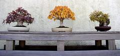 Bonsai Stoplight (Cowtools) Tags: autumn red green fall yellow washingtondc bonsai nationalarboretum october2006