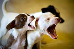 she sings! (_nimz) Tags: dog chihuahua cute puppy topf50 teeth topc50 bite topv7777