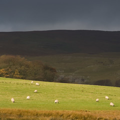Sheep on Spiggot Hill - by simpologist