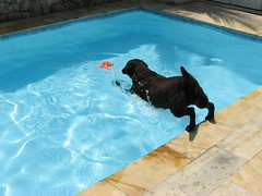 Dog Diving Into a Pool a Dog Jumping Into a Pool
