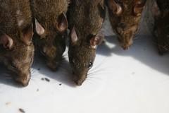 MmmmMilk_Karni_Mata_Deshnok (nospuds) Tags: india geotagged rats karnimata rajasthan deshnok geolat2779119 geolon7334088