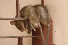 SleepingRats (nospuds) Tags: india geotagged rats karnimata rajasthan deshnok geolat2779119 geolon7334088