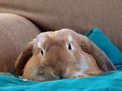 Hi! (Sjaek) Tags: pet pets cute rabbit bunny sweet konijn adorable fluffy boef
