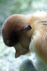 Proboscis Monkey at Singapore Zoo (dbillian) Tags: nature animal animals zoo monkey singapore wildlife monkeys damon zoos proboscis damonbillian billian