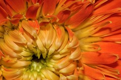 orange burst (DocTony Photography) Tags: orange plant flower macro green nature flora gerbera daisy doctony