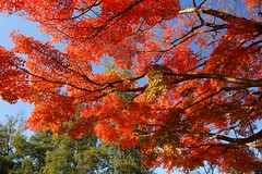 Maple tree---- (tollen) Tags: blue autumn red tree fall ilovenature maple october acerpalmatum greeen happythanksgiving mustbeaflagcolor