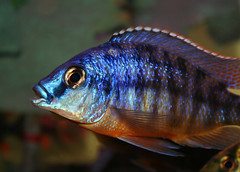 African Cichlid (kotobuki711) Tags: blue red orange pet fish male green water yellow aquarium tank african scales iridescent fins cichlid