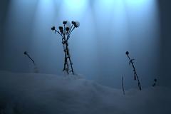 Small (McNeney) Tags: snow cold nature dead weeds minimalism stark everythingwasprettyflatlightwiseyesterdayuntilihikedupthehill fromthereiguessbecauseitoverlookstheoceantherewasthecoolestblueygreytinttotheskywhichwasreallyworkingforme iriggedupthefoulweatherbagsomyonehandwassealedrightinit whichleftmeonlyonehandforeverythingelse andwhenmybootlacescameuntiediwasintrouble ifoundaplacewhereicouldsemisitsemiliedowninthesnowandusemyteethandmyonefreehandtokindatiemybooton andthenkeptshootingforanotherhour heyitsallpartoftheadventureright