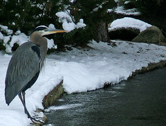 Wintery Heron (shesnuckinfuts) Tags: snow cold bird ice heron pond moo wa coolest animalplanet greatblueheron birdbrained brrrrrr ardeaherodias backyardpond kentwa november2006 featheryfriday ilovebirds outstandingshots experiencewa animaladdiction specanimal animalkingdomelite abigfave shesnuckinfuts washingtonstatewildlife impressedbeauty grumpyoldmanofthepond