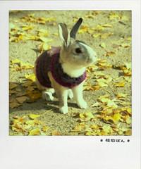 fukusuke-pon  (fukusuke-pon ) Tags: pet rabbit bunny japan conejo osaka coelho kaninchen coniglio
