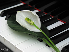 Lily On The Piano (W.R.Miller) Tags: white black flower keys lily piano dpchallenge superaplus aplusphoto wrmiller