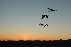 Dusk Flyback (Fort Photo) Tags: travel sunset newmexico bird nature birds animal landscape bravo crane wildlife birding 2006 aves cranes bosque ave birdsinflight rays nm ornithology bosquedelapache avian silouhette bif wildbird magicdonkey birdphoto outstandingshots abigfave bestnaturetnc06 bosquedelapachenationalwildliferefuge