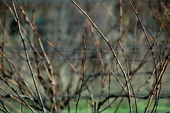 California Winter (Laurie York) Tags: winter vineyard poem bokeh grapevine californiawinter andersonvalley mendocinocounty reflectingonthesolitarynatureofbeinganartist theconnectednessofsolitude