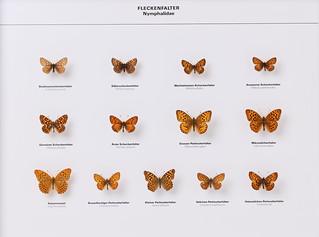 Lepdioptera Nymphalidae