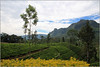 Hill Country (Mabacam) Tags: asia southasia srilanka ceylon island hillcountry tea plantations teaplantation teapickers nuwaraeliya highlands