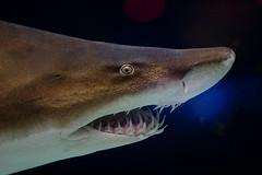 Grey nurse shark - Carcharias taurus (Joe Lencioni) Tags: minnesota animal animals zoo shark us unitedstates applevalley mnzoo minnesotazoo greynurseshark charchariastaurus