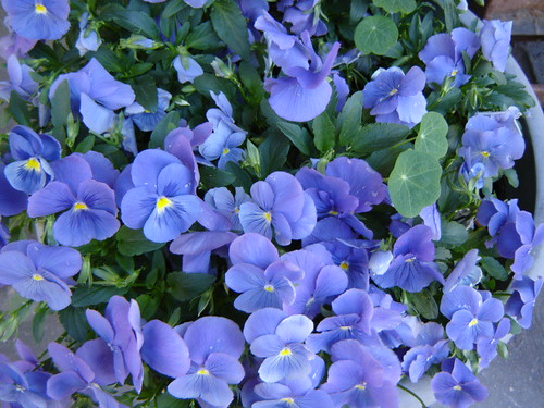 My sister's violets by Anna Amnell