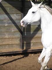 Unicornio.JPG (Katherine Hardessen) Tags: caballos kashan caballoaraba